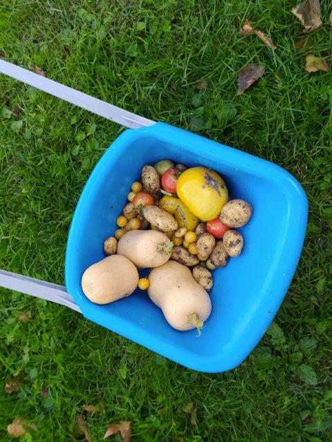 Mercredi les Fripouilles ont recoltés les légumes du potager avec Christelle